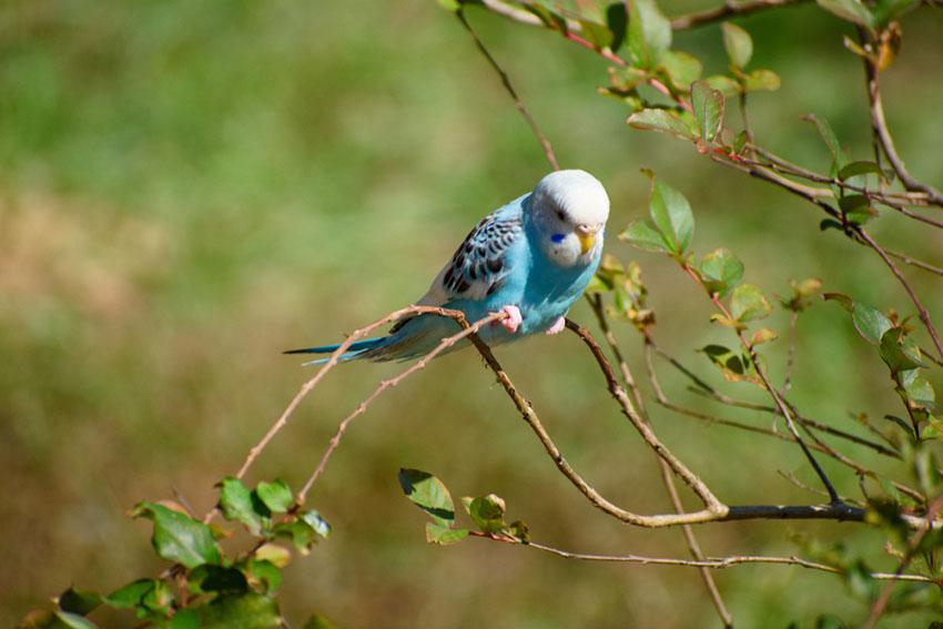 parakeet escaped