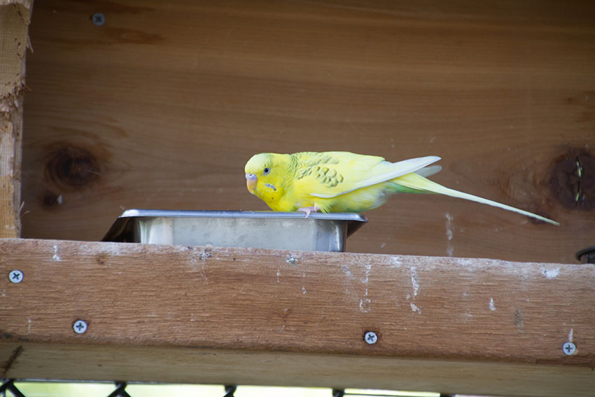 Budgie feeding from a tray
