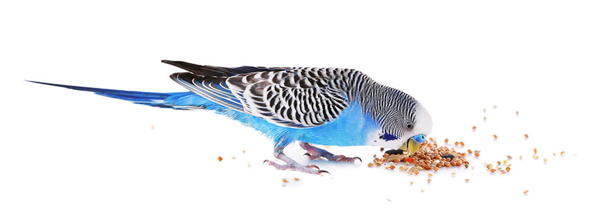 budgie feeding on the ground