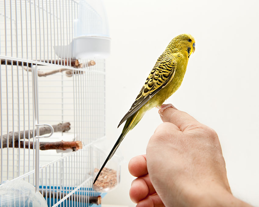 budgie finger training