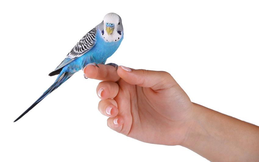 parakeet finger training