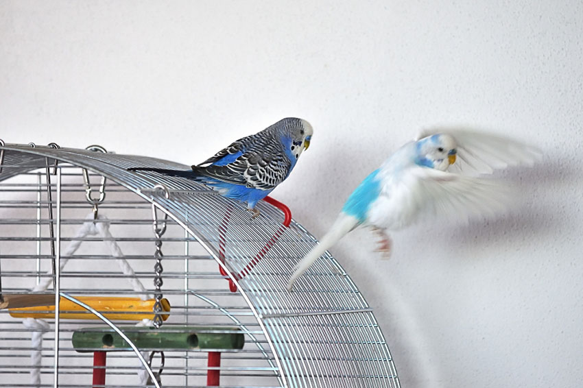 parakeets outside their cages