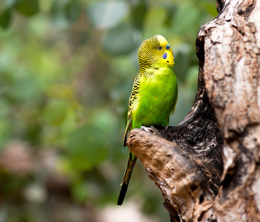 Parakeet in eucalyptus tree