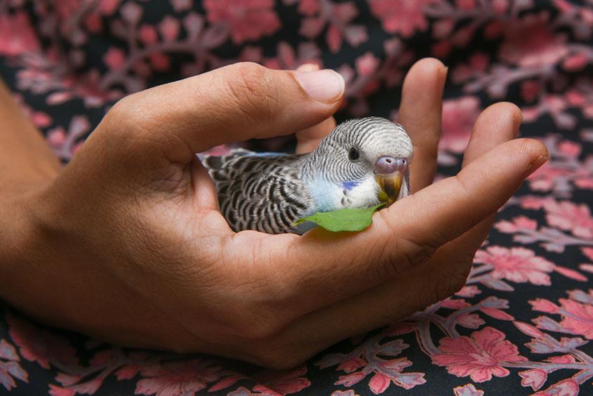 handling young parakeet