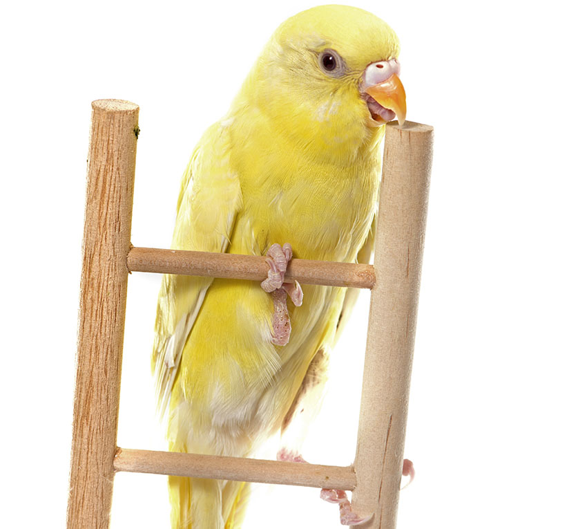 Budgie ladder