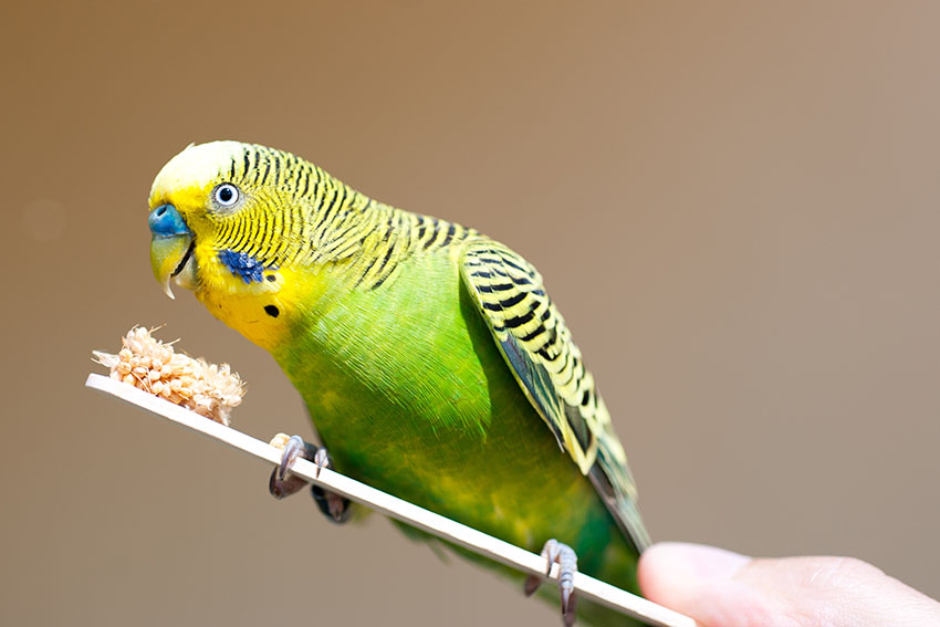 Budgie Behaviour Problems | Budgie Behaviour | Budgie Guide