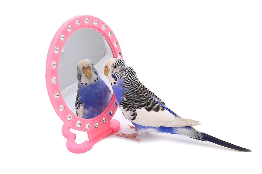 Budgie mirror