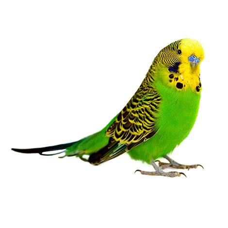 budgies are the world's most popular pet bird