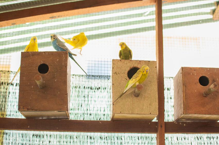 parakeet color variations