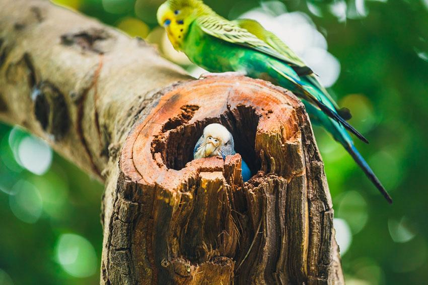 nesting budgies parakeets