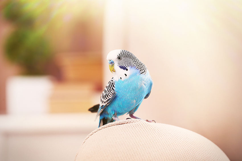 budgie_on_chair