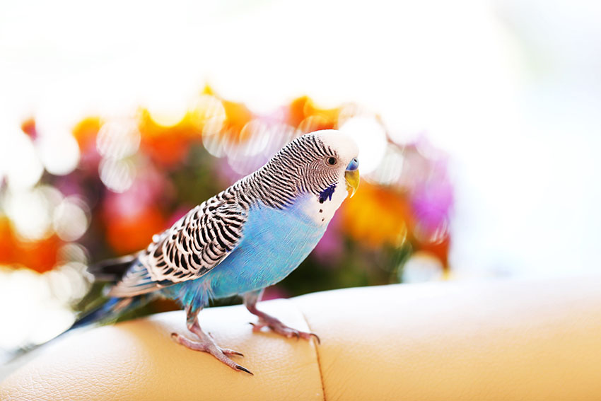budgie on sofa