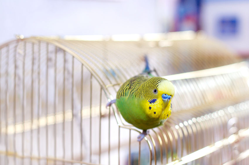 budgie on top of cage
