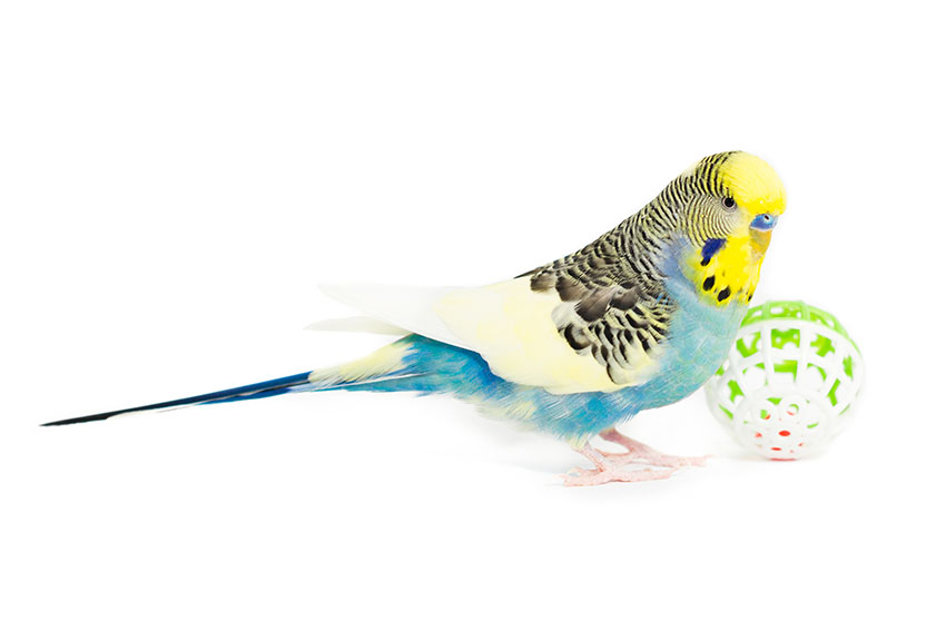 budgie playing football
