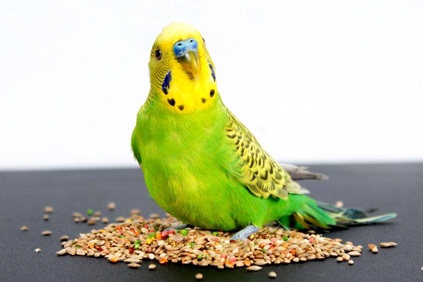 budgerigar name origin
