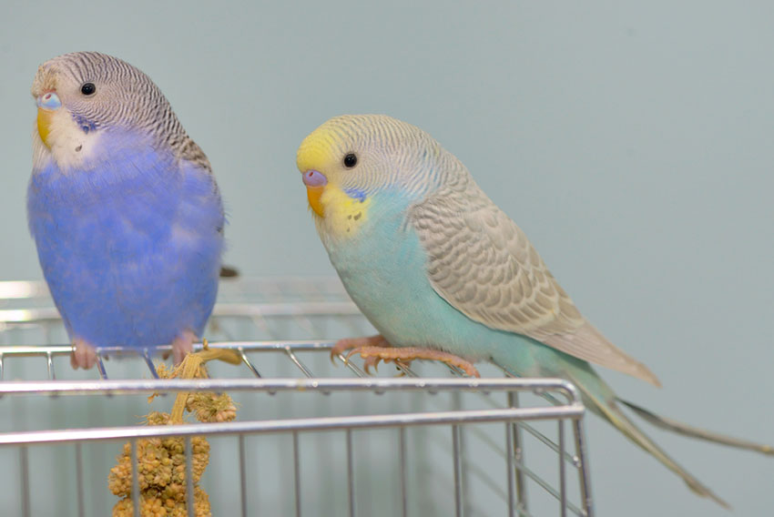 Blue budgies in a cage
