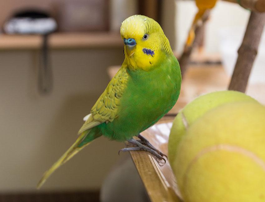budgie tennis ball