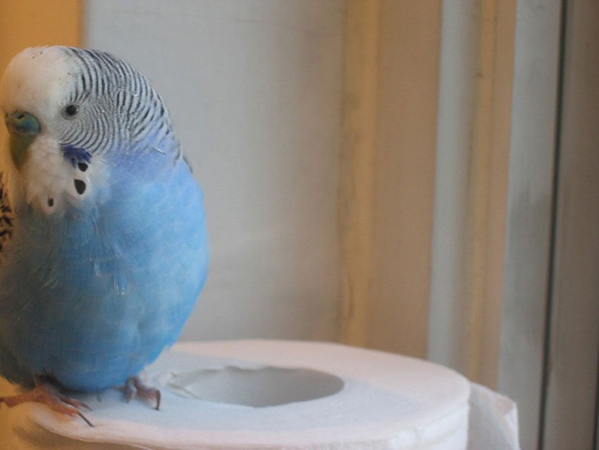 budgie toilet roll