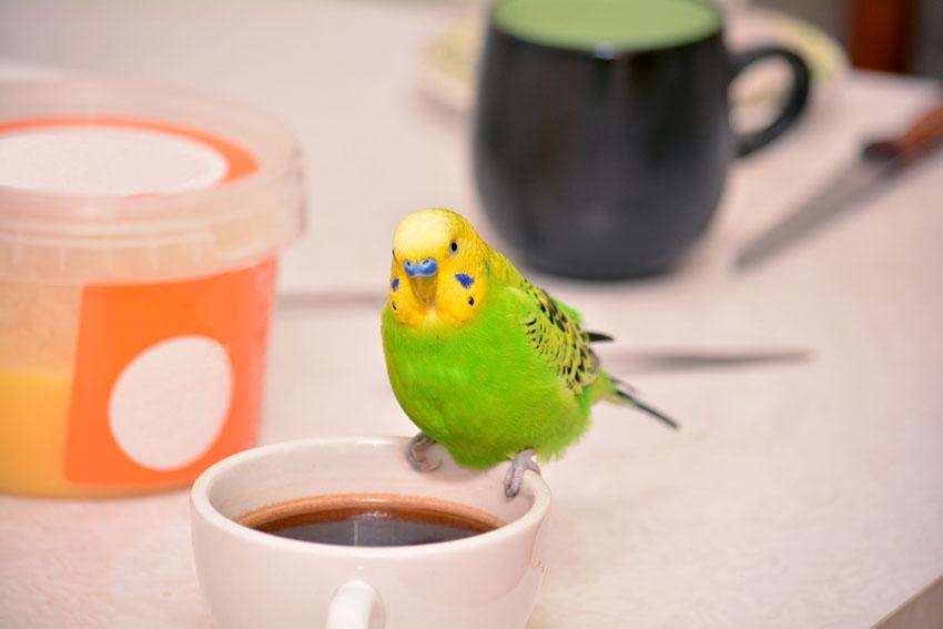parakeet toxic food coffee