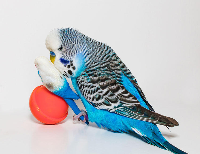 Toys for parakeets