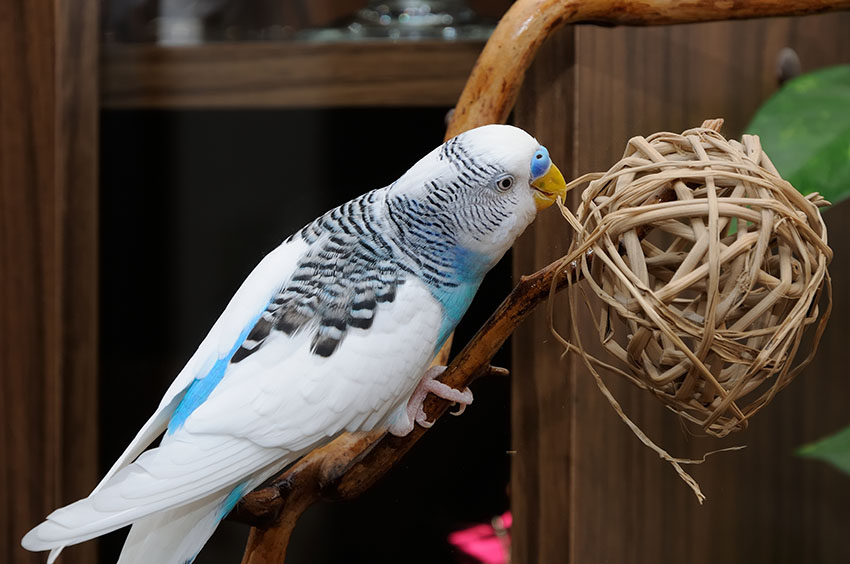 Budgie twig ball toy