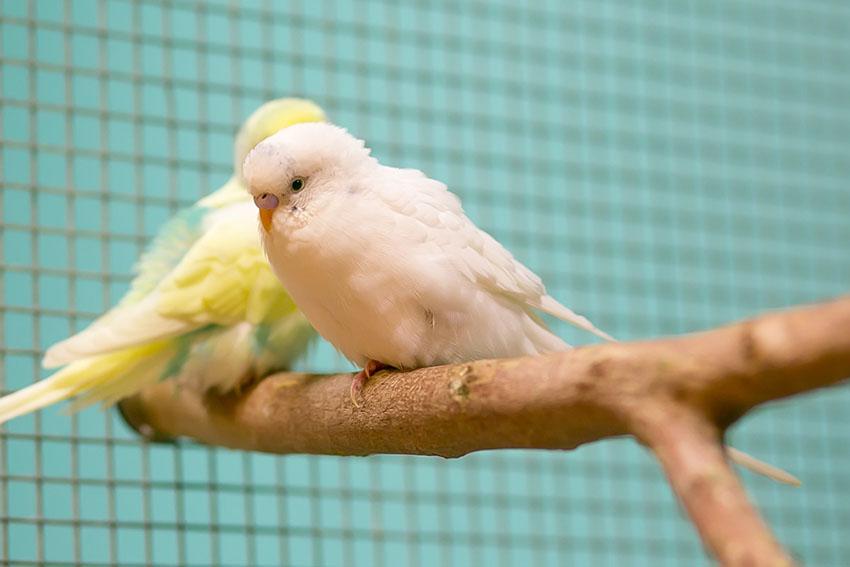 Parakeets on a perch