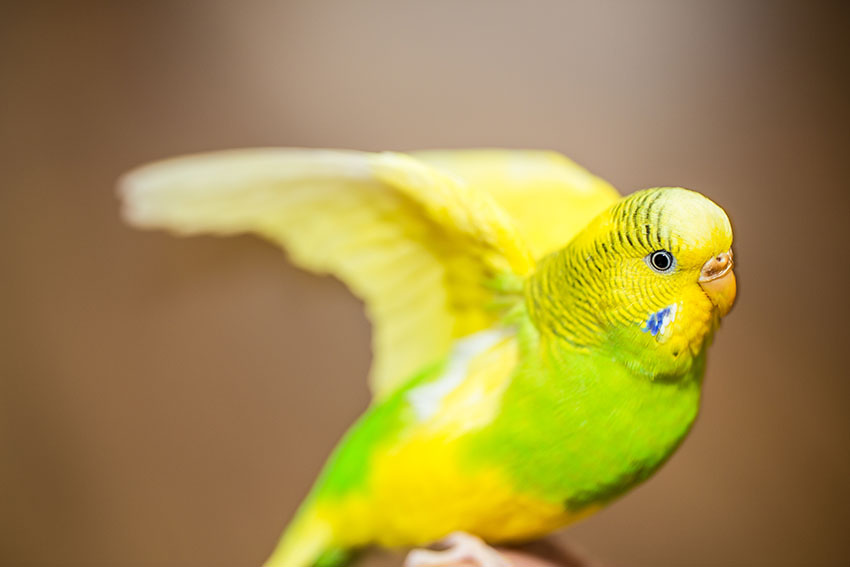 budgie wing stretching