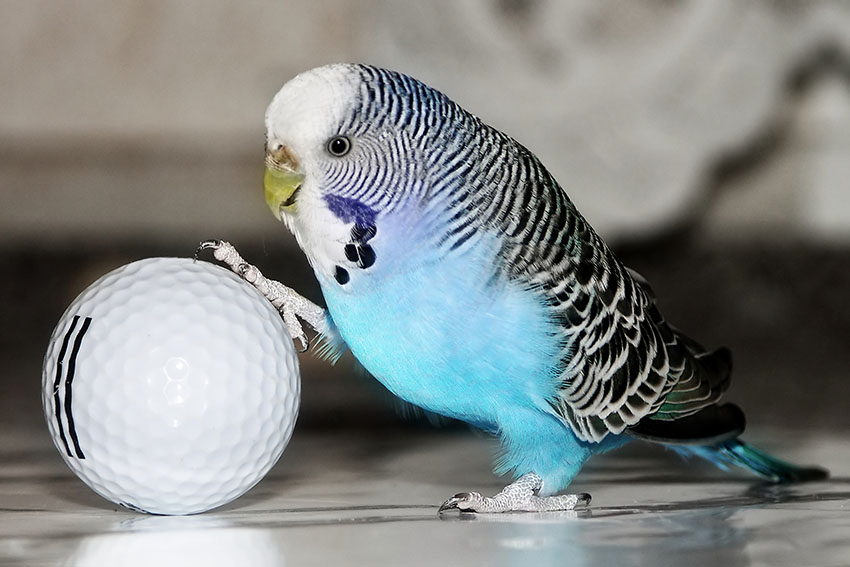 Normal Budgie Behaviour | Budgie Behaviour | Budgie Guide