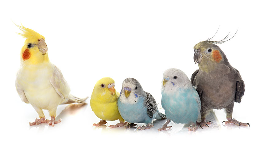 Budgies and cockatiels