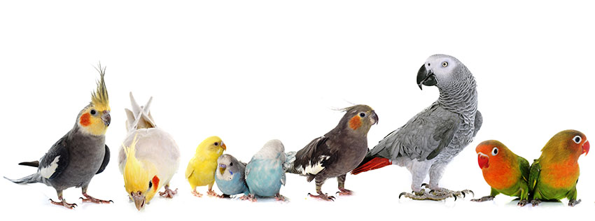 Budgies and parrots