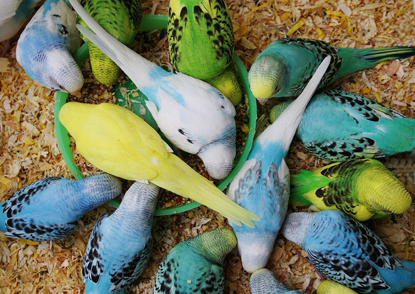 Budgies eating seed