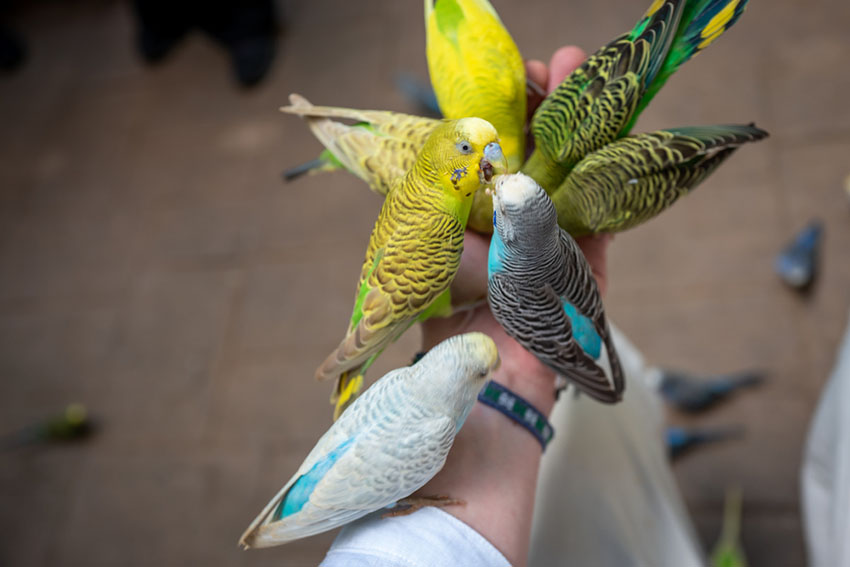 Parakeets feeding from hand
