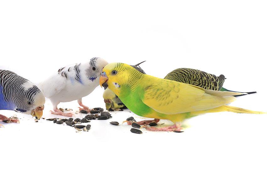 budgies_feeding_together
