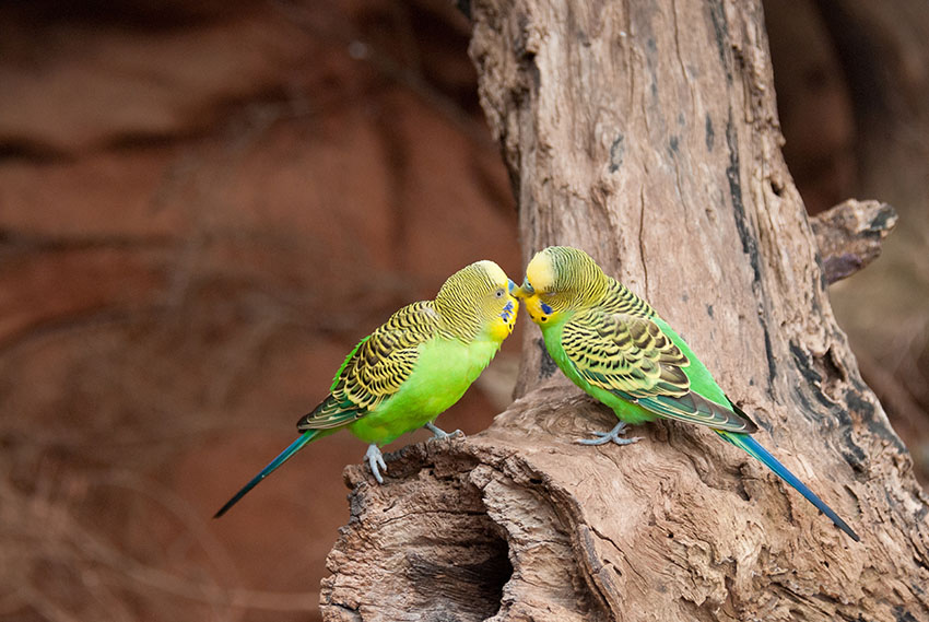 Budgies in their native Australia
