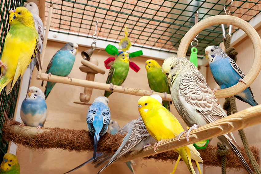 Budgies in a cage with accessories