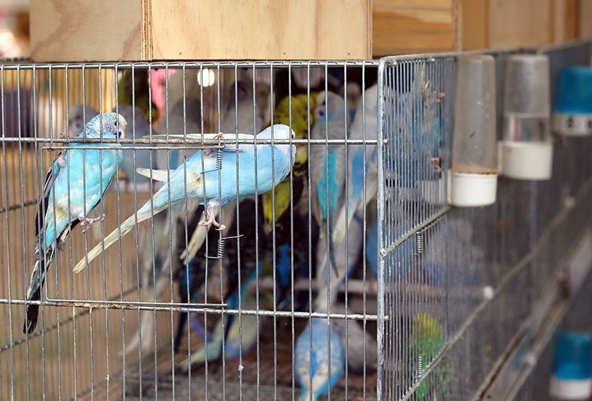 budgies in cages