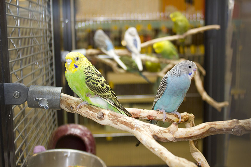 budgies in large cage