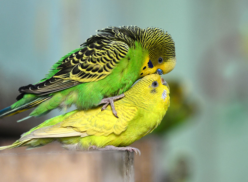 Budgie Courtship and Breeding Behaviour | Nesting and