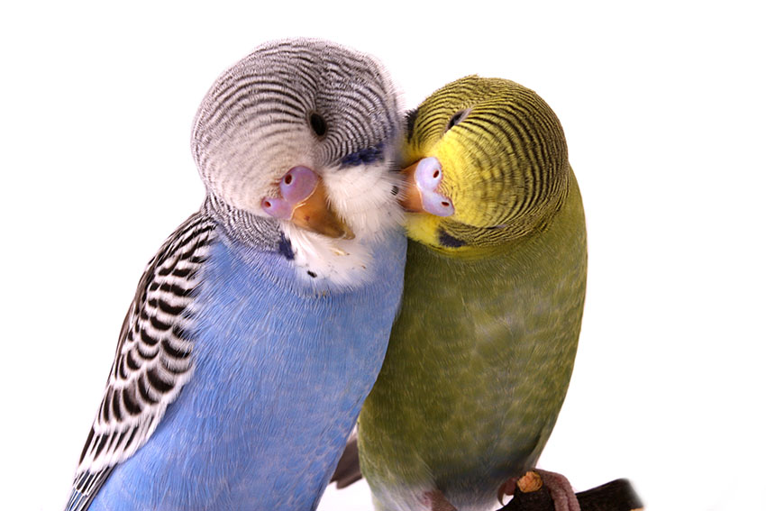 budgies in mutual preening