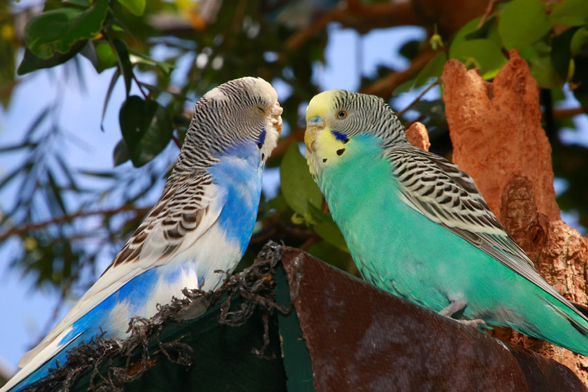 Pied blue and opaline parakeets