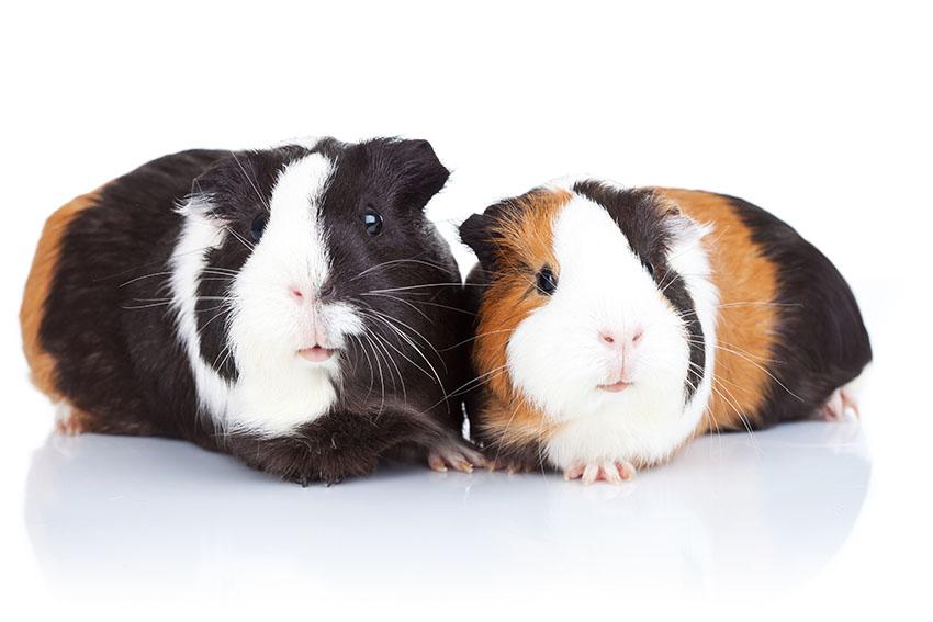 Buying guinea pigs
