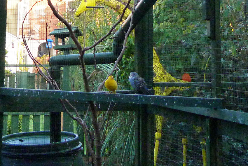 Canary and budgie