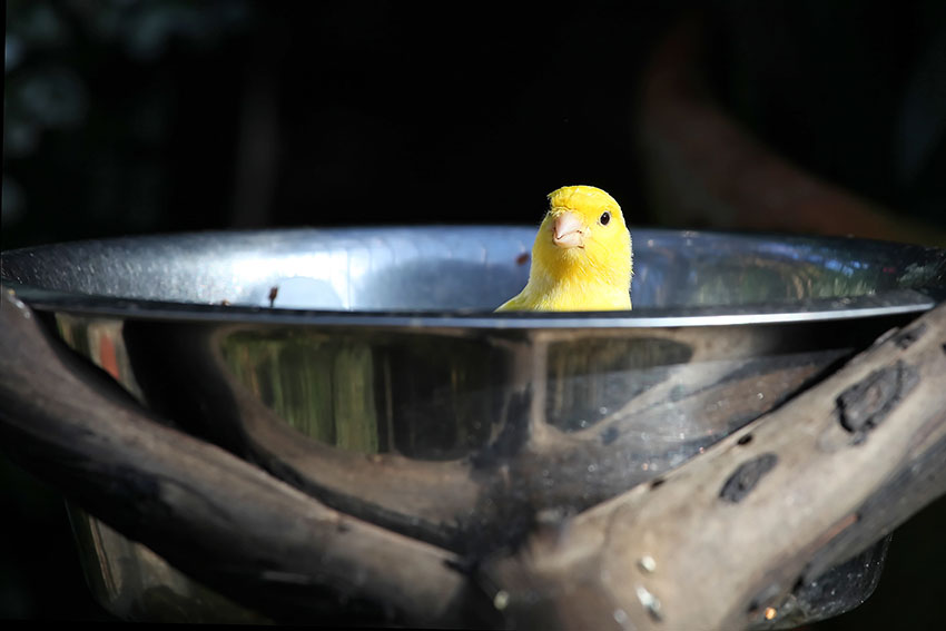 canary bathing