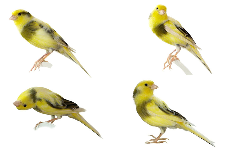 canary body language