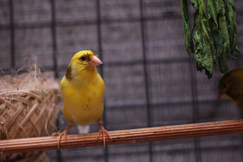 canary in breeding season