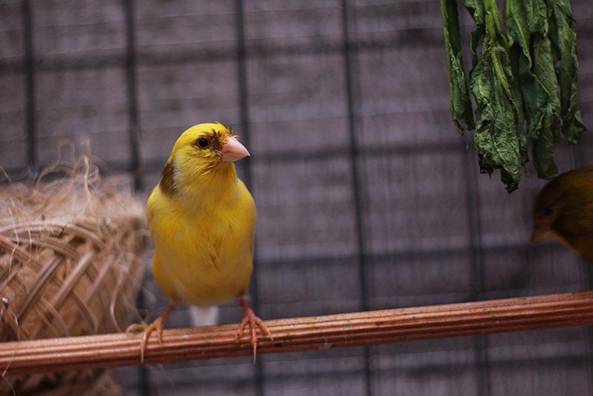 canary in breeding season