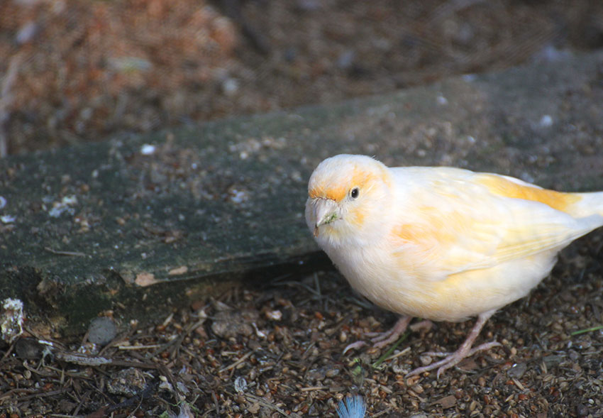 Canary feeding on the ground