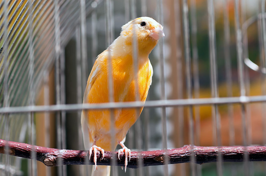 Canary in pet shop