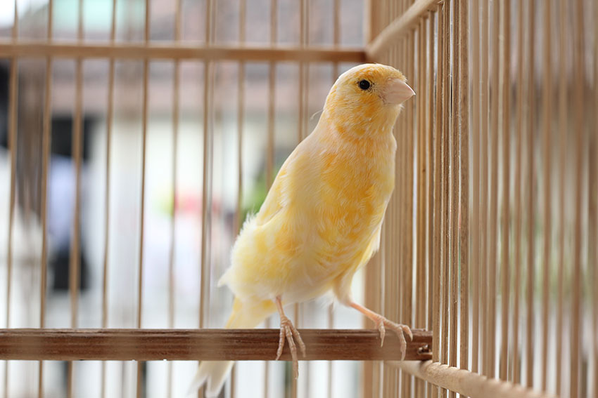 Canary in wooden cage