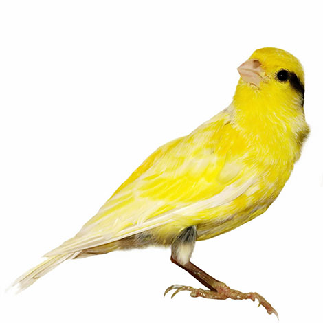 Canary markings